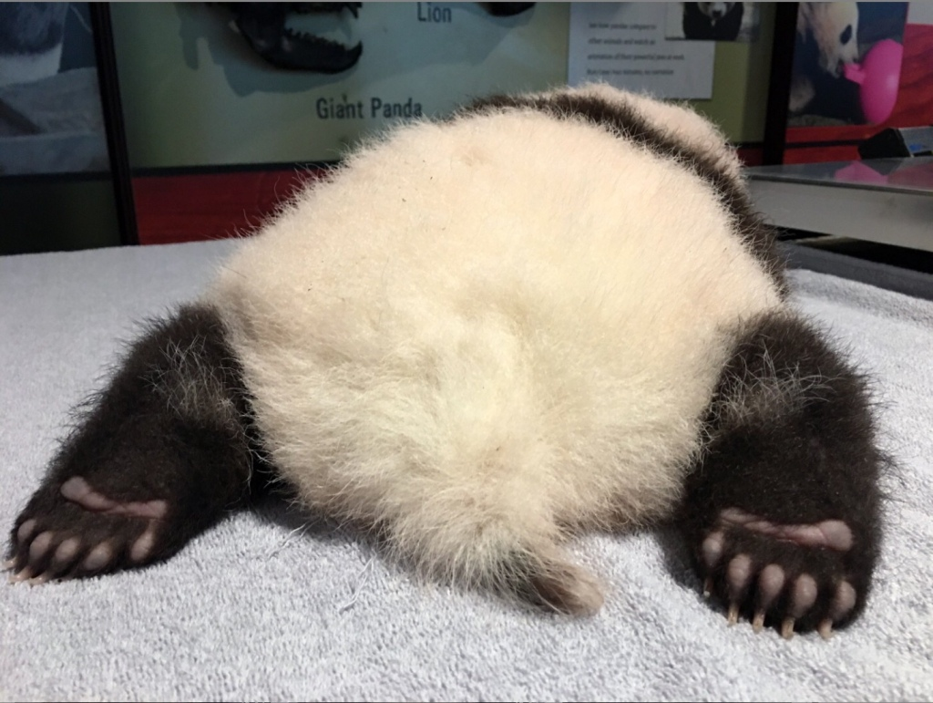Young panda cub, lying belly down on table, seen from the back. See soles of hind paws and round, fluffy butt.