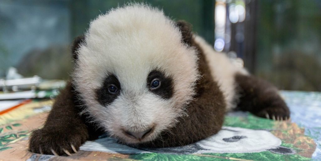 Young panda cub lies belly down on table , looking at camera/viewer
