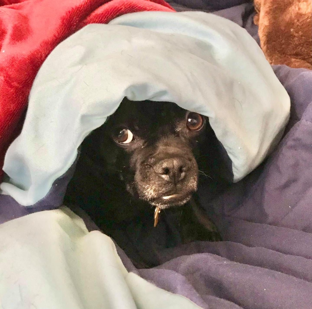 Black short-faced dog peers out from under bedding encircling her face.