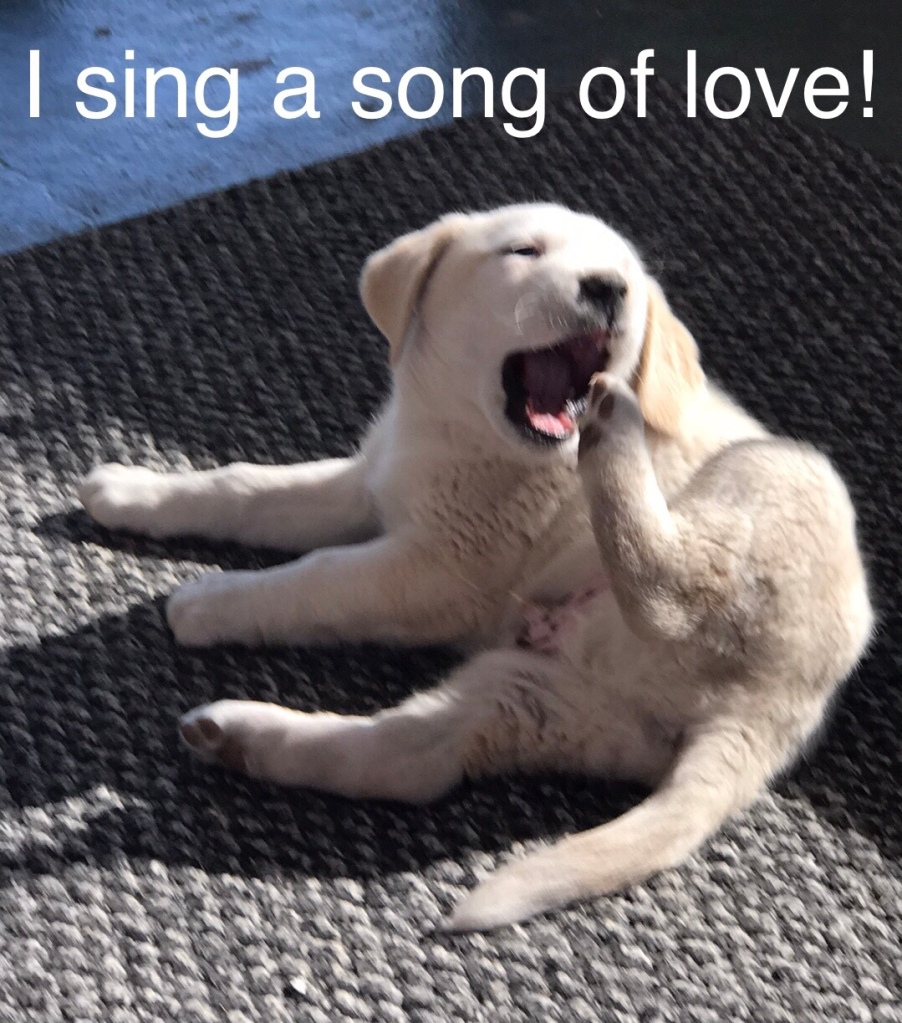 Creamy white Pyrenees puppy lies on right side, left rear paw lifted too widetoo wide open mouth as if singing. Caption reads: I sing a song of love.