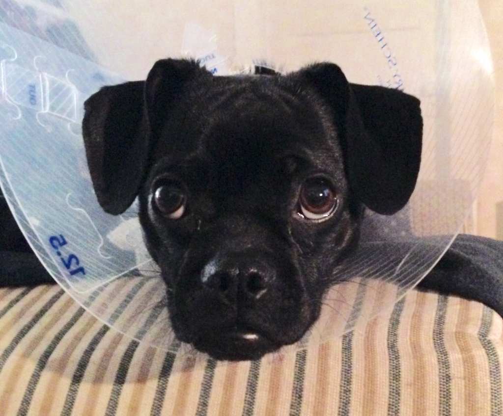 Closeup of black puppy face with protective cone around head, looking forlorn yet adorable