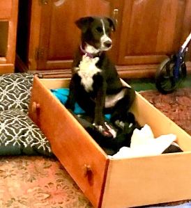Black and white young puppy sits atop folded clothes in a drawer on the floor.