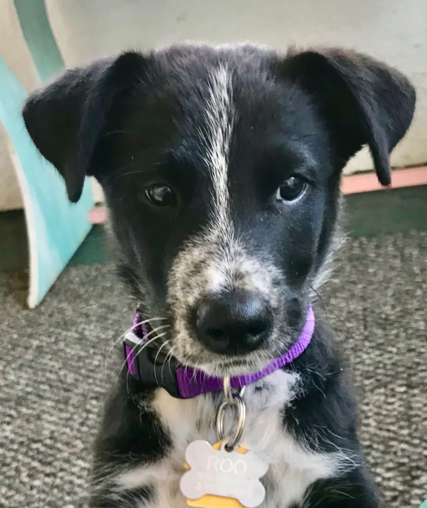 Bust of black and white puppy with endearing expression on face